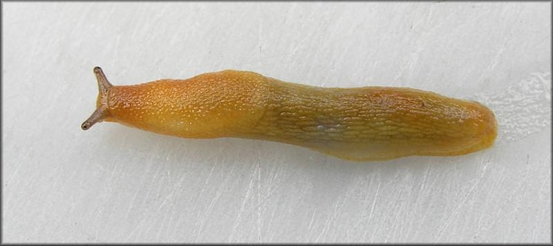 Dusky Arion (Arion subfuscus)