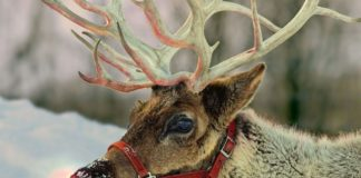 Rudolph la renna con il naso rosso
